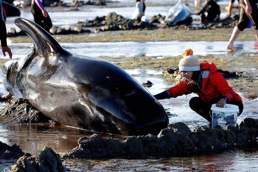 Трагедия в Новой Зеландии. Почему дельфины выбросились на берег— эксперт
