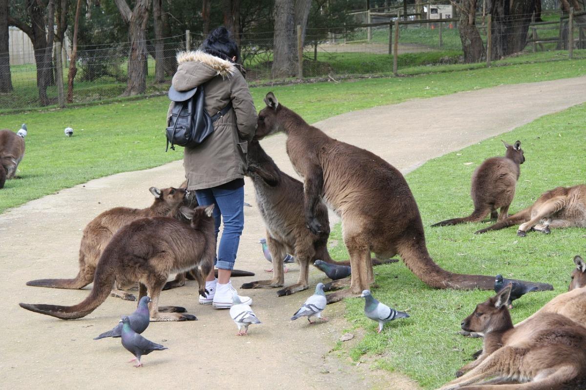 Десятки тысяч кенгуру пришли в крупнейшие города Австралии в поисках еды— ВИДЕО