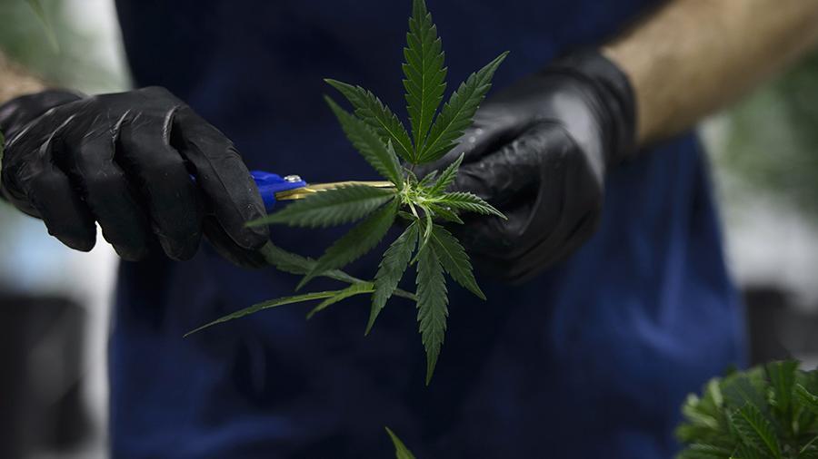 Марихуаны в рекреационных целях белладонна марихуана
